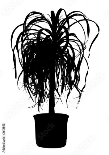 elefantenfuss palme pflanze stockfotos und lizenzfreie. Black Bedroom Furniture Sets. Home Design Ideas