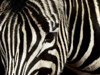 Aluminium Prints Zebra Zebra