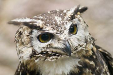 Ethiopian Eagle Owl looking at viewer - landscape orientation
