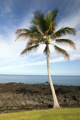 Hawaiian Palm Tree on Volcanic Lava Coast of Kona Island