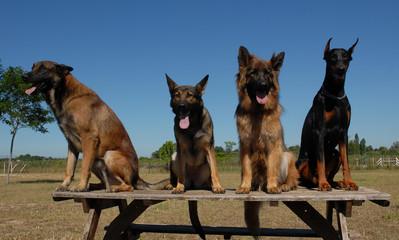 4 chiens de garde