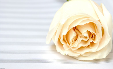 White rose on a music book