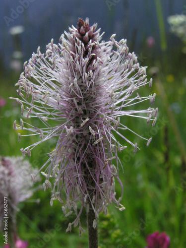1408 raiponce en pi phyteuma spicatum photo libre de droits sur la banque d 39 images - Telecharger raiponce ...