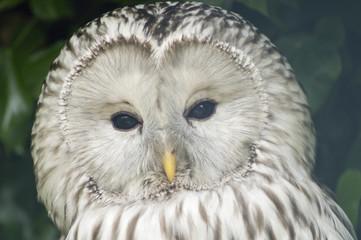 Ural Owl (Strix Uralensis Liturata) looking at viewer