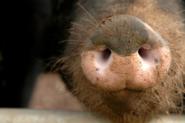 muddy pig snout