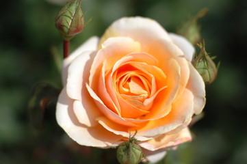gelbe rosenpracht