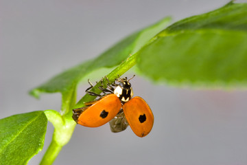 Small ladybird with two points on the green leaf