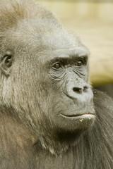 Head shot of male Gorilla - portrait orientation