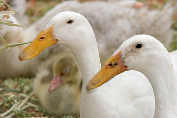 headshot of two white ducks with ducklings in the background