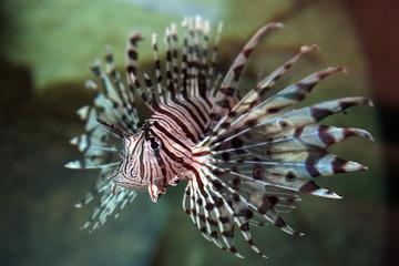 Feuerfisch Australien_07_1552