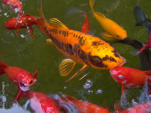Carpe koi dans un bassin de poissons rouge photo libre for Achat poisson rouge bassin