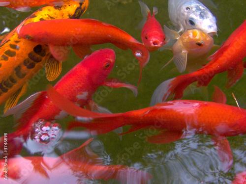poissons rouge dans un etang photo libre de droits sur la banque d 39 images image. Black Bedroom Furniture Sets. Home Design Ideas
