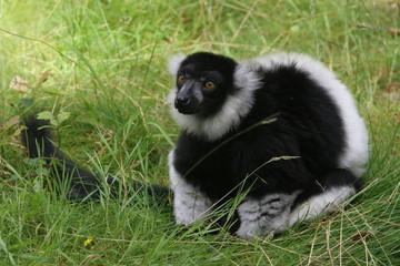 lemur vari noir et blanc