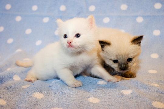 Two little  Himalayan Siamese kittens