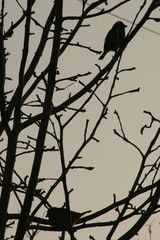 Sparrows on a tree