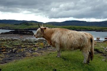 vache d'ecosse