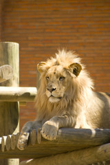 a lion in a zoo in alert state
