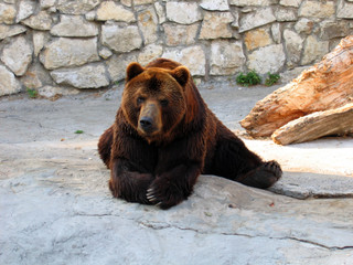 Big brown bear with pensive eyes