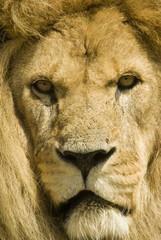 Close up of Lion (Panthera leo) - portrait orientation