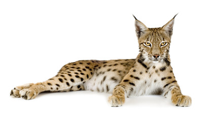 Foto op Plexiglas Lynx Lynx in front of a white background
