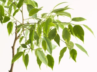 ficus tree 2
