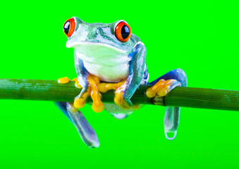 red eyed frog on bamboo on bright background