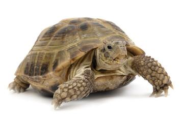 reptile turtle animal, slow speed, isolated object