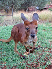 Australian kangaroo looking close up at camera in the outback
