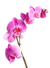Photo sur Plexiglas Orchidée pink flowers orchid on a white background
