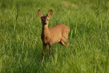 jeune chevreuil dans l'herbe verte