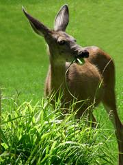 Female Mule Deer munching on a bush