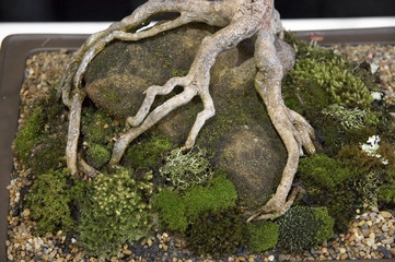 Bonsai plant root growing around a rock