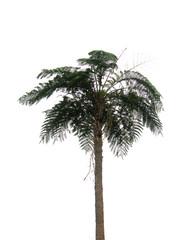 fougère arborescente géante