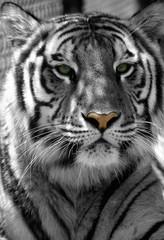 tiger-rb