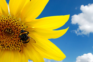Fresh sunflower with hard working bumblebee against blue sky