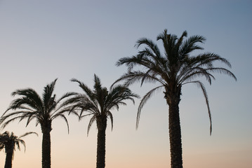 Palms on the coast of the islands Mallorca