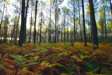 forêt landaise 1