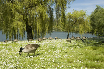 Canada Geese im Stanley Park