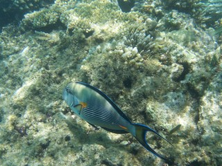 Streifendoktorfisch