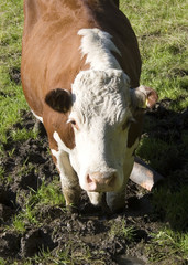 Cow Stuck in the Mud