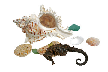 Sea shells and hippocampus on white background