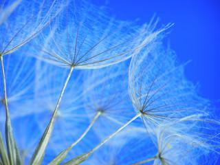 Fotorolgordijn Paardebloemen en water dandelion seed