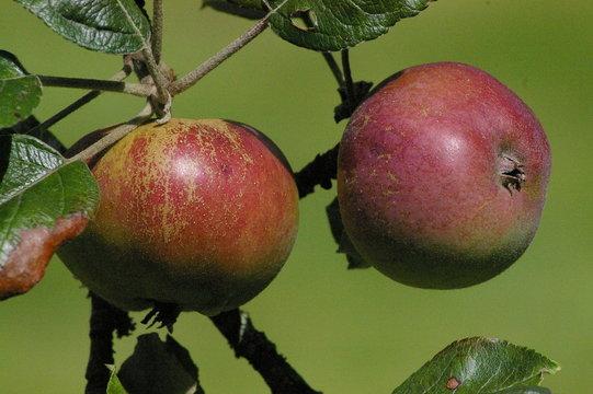 Pommes normandes