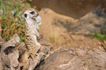 picture of meerkat on security detail looking to the right