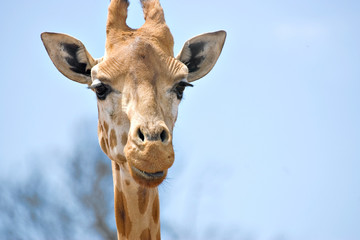 giraffe looking at camera