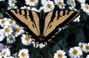 Tiger Swallowtail Close-up