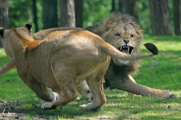fighting lions