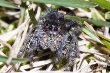 Fototapeten Eichhornchen Jumping Spider