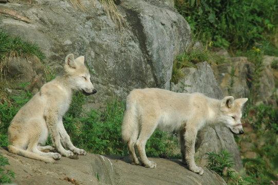 arctic wolf pups