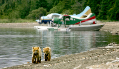Grizzly cubs and float planes, Katmai NP, Alaska